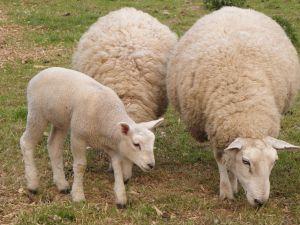 sheeplancer