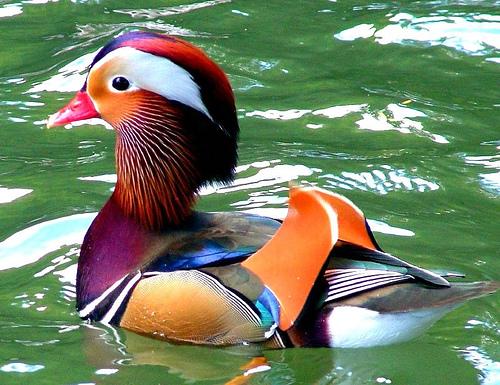 mandarin_swim_closeup_linda