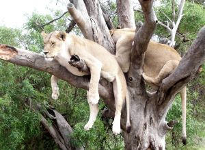 912288_lions_in_a_tree